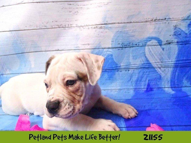 American Bulldog-Female-White-2115645-Petland Naperville