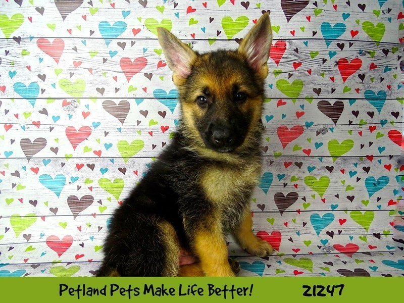 Visit Our German Shepherd Puppies For Sale Near Springfield Illinois