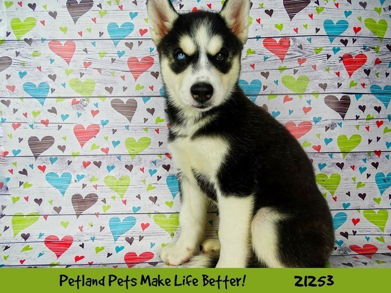 Visit Our Siberian Husky Puppies For Sale Near Bloomington Illinois