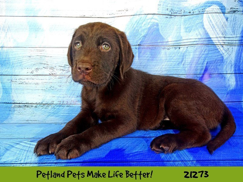 Visit Our Chocolate Lab Puppies For Sale Near Peoria Illinois