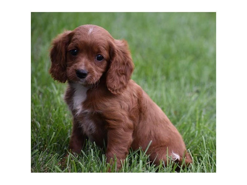 Toy Poodle/Cavalier King Charles Spaniel