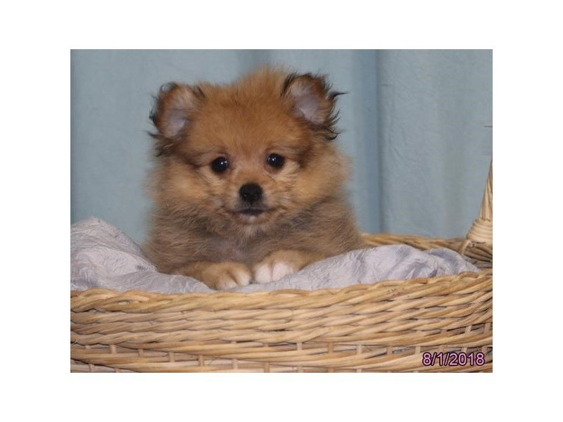Visit Our Pomeranian Puppies For Sale Near Bloomington Illinois
