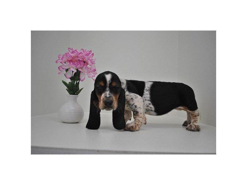Basset Hound-DOG-Female-Black White / Tan-2151797-Petland Naperville