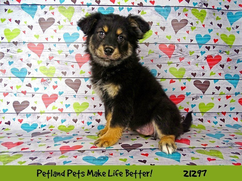 Aussie Pom-DOG-Female-Tri-Colored-2156869-Petland Naperville