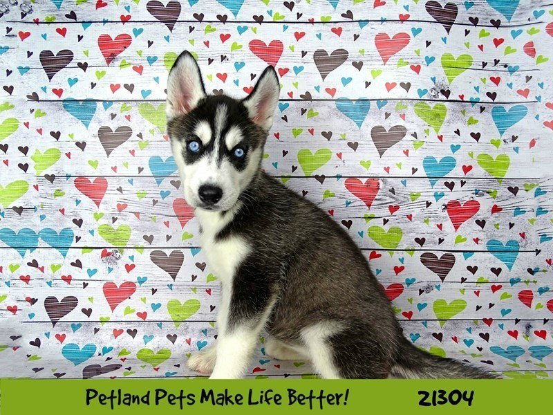 Visit Our Siberian Husky Puppies For Sale Near Peoria Illinois