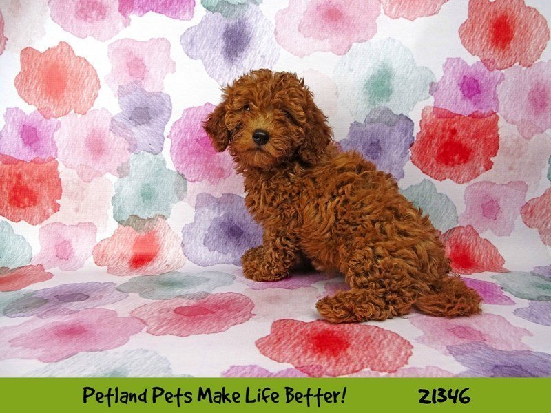 F1B Mini Goldendoodle-DOG-Male-Red-2167462-Petland Naperville