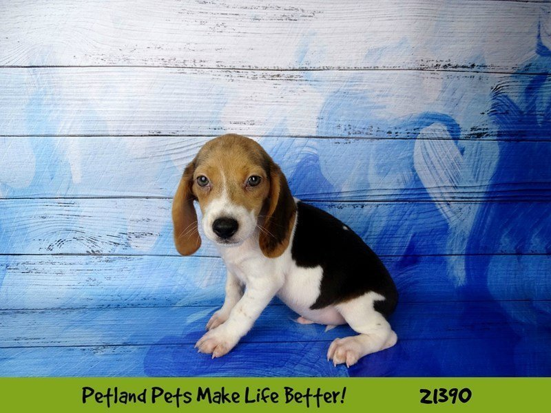 Beagle-DOG-Male-Black White / Tan-2182260-Petland Naperville