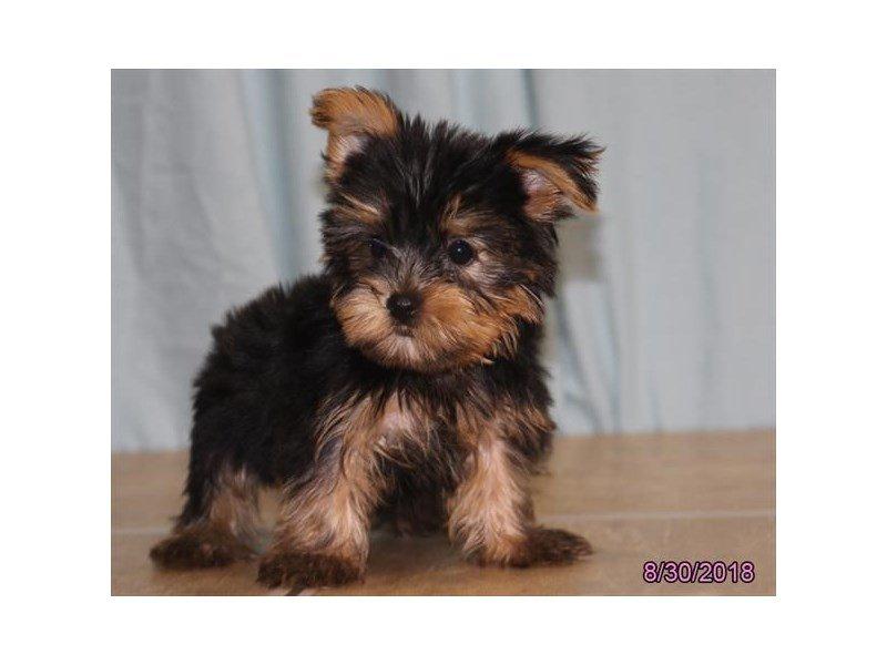 Yorkshire Terrier-DOG-Male-Black / Tan-2166909-Petland Naperville