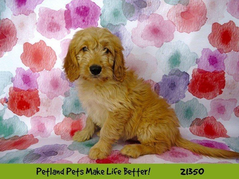 Mini Goldendoodle-DOG-Female-Cream-2167509-Petland Naperville