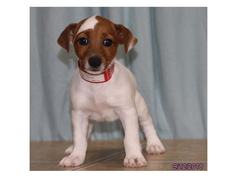 Jack Russell Terrier-Female-White / Brown-2177370-Petland Naperville