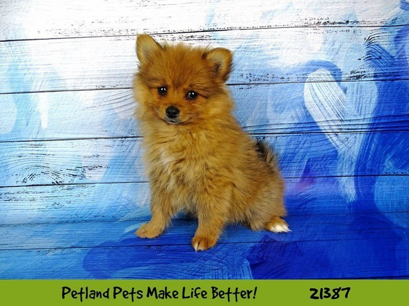 Pomeranian-DOG-Female-Red-2182154-Petland Naperville