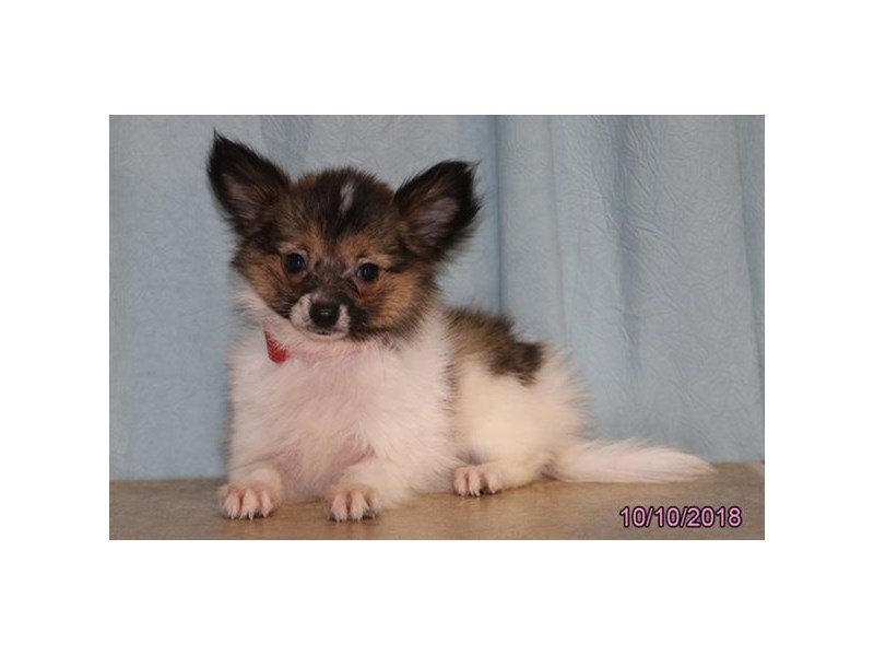 Papillon-Male-Black / White-2195723-Petland Naperville