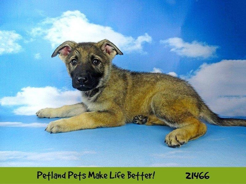 German Shepherd-DOG-Female-blk/tan-2200618-Petland Naperville