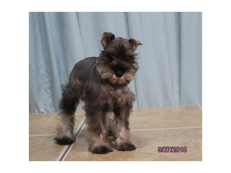 Miniature Schnauzer-DOG-Female-Salt / Pepper-2186721-Petland Naperville