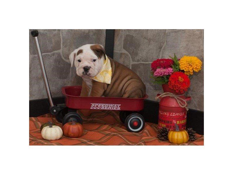 Beabull-Bull-DOG-Male-Red / White-2191262-Petland Naperville