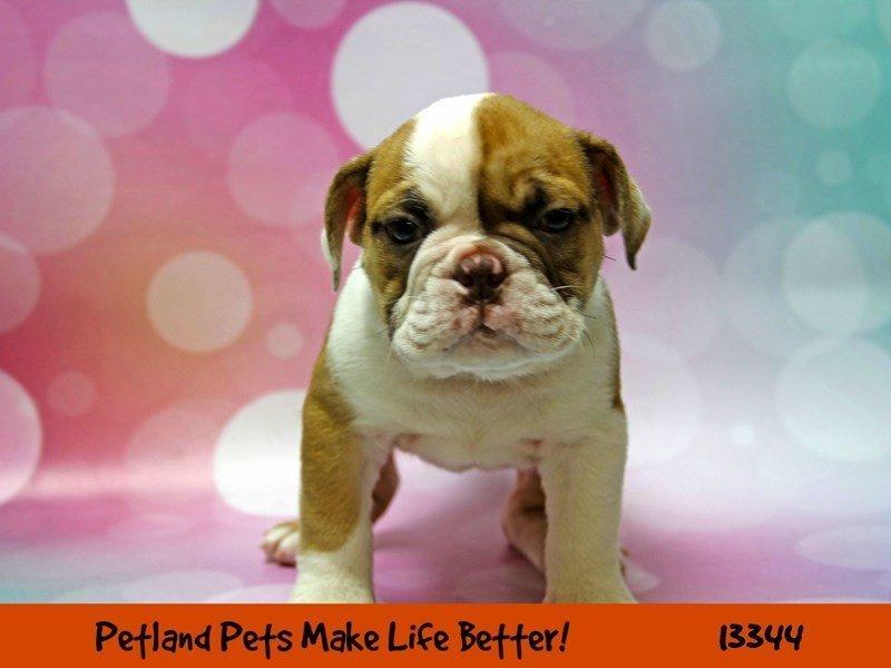 English Bulldog-DOG-Female-Fawn & White-2191270-Petland Naperville