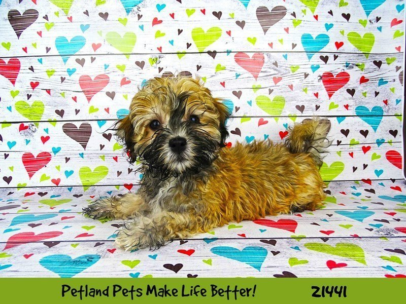 Havanese-DOG-Male-Brown-2195887-Petland Naperville