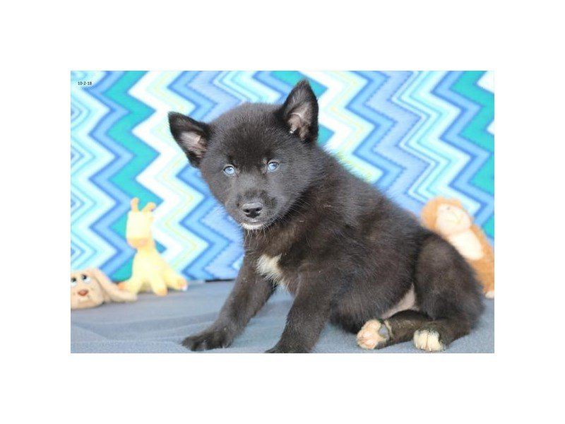 Pomsky-DOG-Male-Black-2200361-Petland Naperville