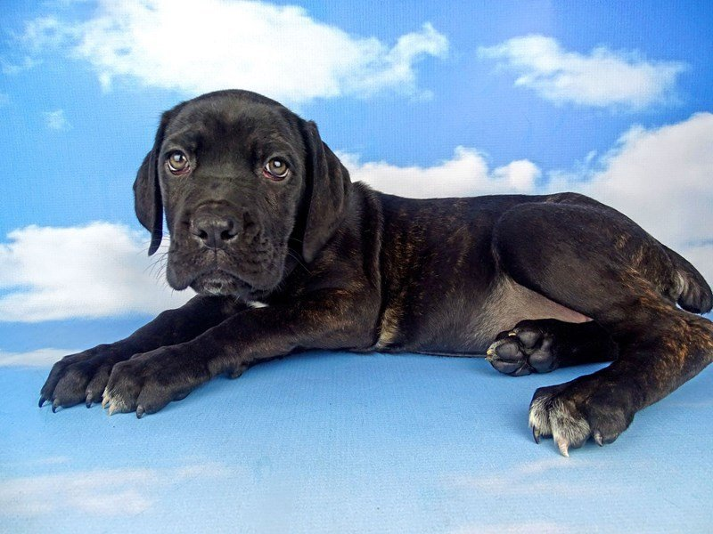 Cane Corso-DOG-Female-Black-2204937-Petland Naperville