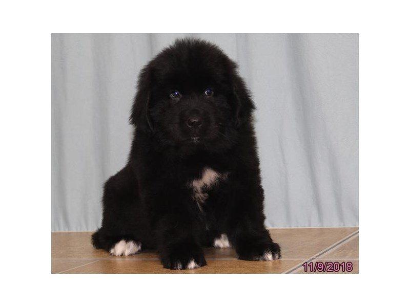 Newfoundland-DOG-Male-Black-2214146-Petland Naperville