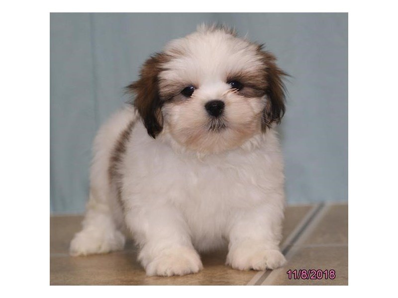 Lhasa Apso-Male-Red / White-2214147-Petland Naperville