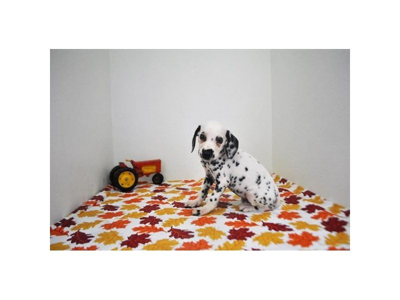 Dalmatian-Male-White / Black-2214160-Petland Naperville