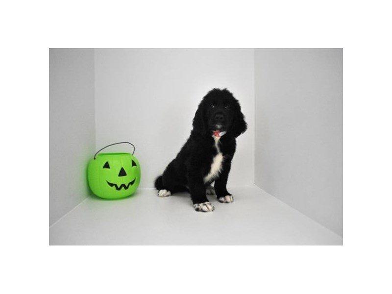 Newfie Poo-DOG-Male-Black-2214207-Petland Naperville