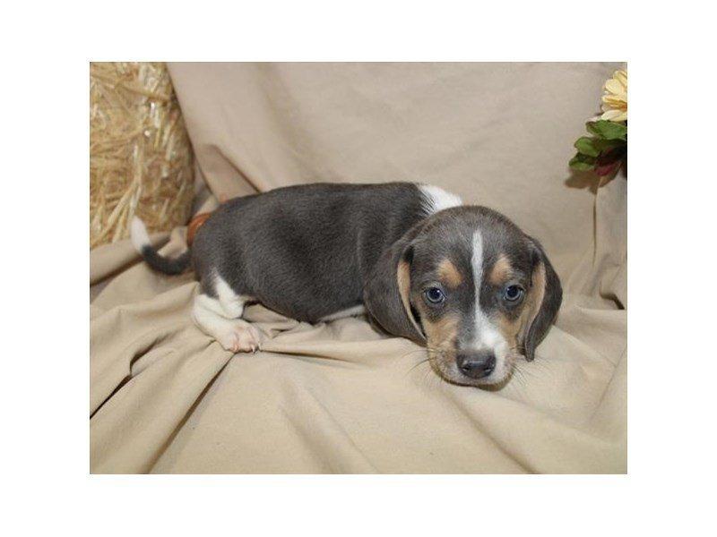 Beagle-DOG-Male-Blue White / Tan-2219783-Petland Naperville