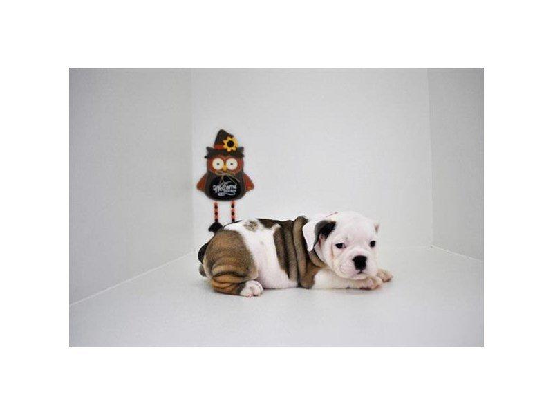 Bulldog-Female-Red / White-2219903-Petland Naperville