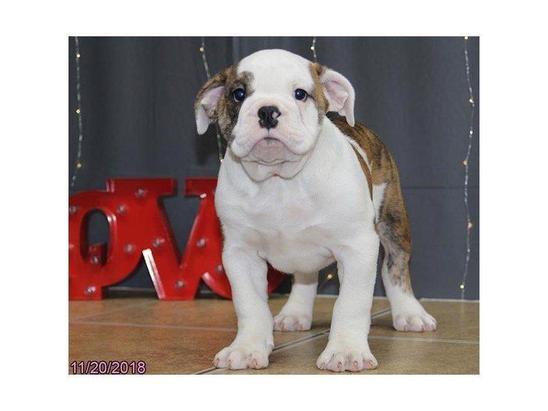Victorian Bulldoge-DOG-Female-Brindle / White-2223111-Petland Naperville