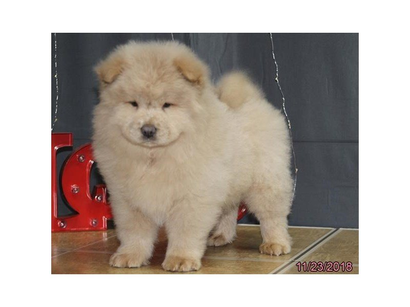 Chow Chow-Male-Cinnamon-2223114-Petland Naperville