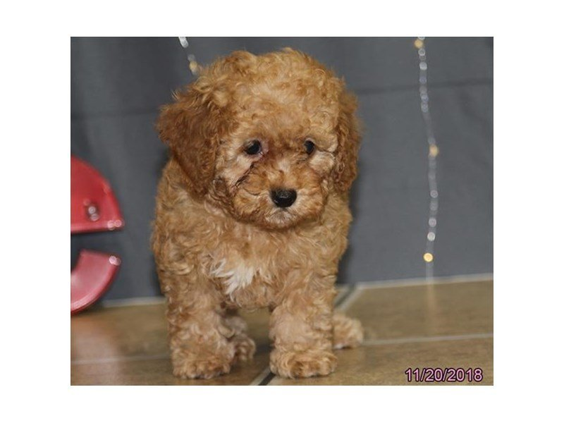 Poodle Toy-Female-Red-2223133-Petland Naperville