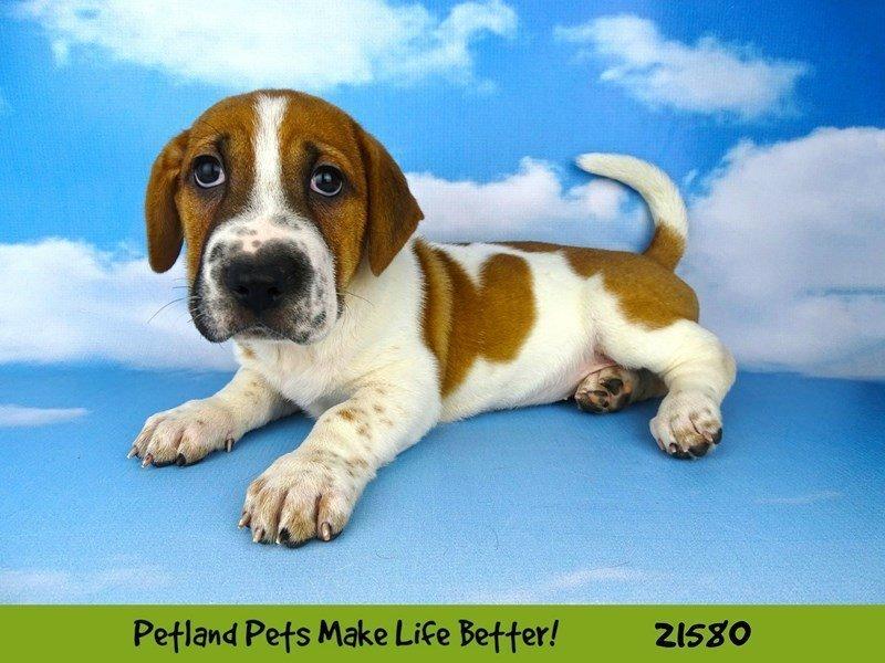 Walrus-DOG-Female-Red/Wht-2223143-Petland Naperville
