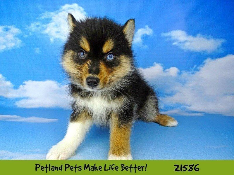 Pomsky-DOG-Male-Tri-2223416-Petland Naperville