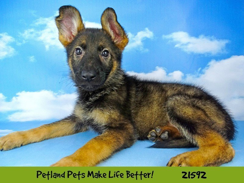 German Shepherd-DOG-Female-Sable-2223796-Petland Naperville