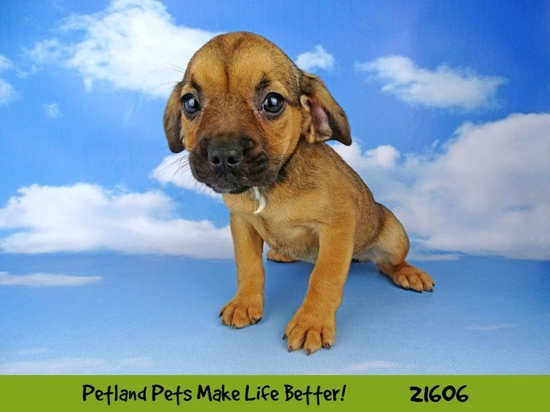 Frengle-DOG-Female-Brown-2223110-Petland Naperville