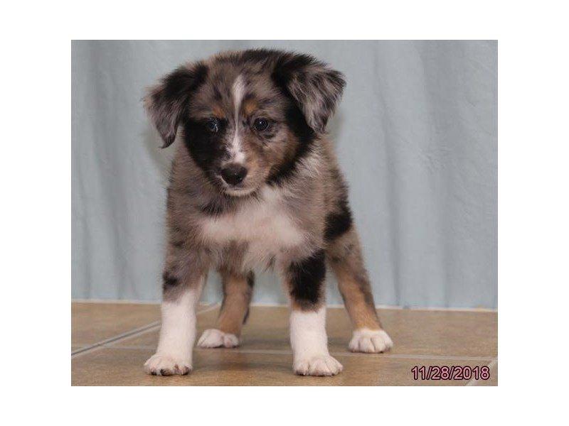 Miniature Australian Shepherd-DOG-Male-Blue Merle-2228539-Petland Naperville