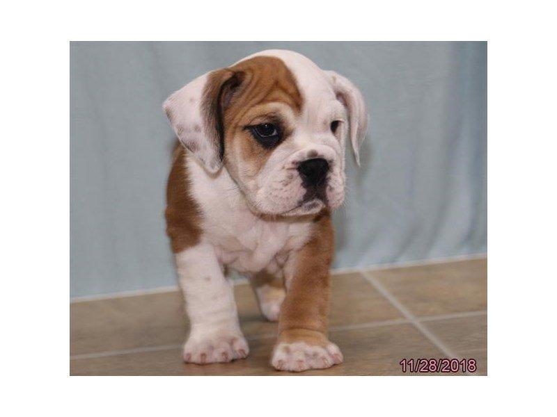 Beabull Bulldog-DOG-Male-Red / White-2228542-Petland Naperville