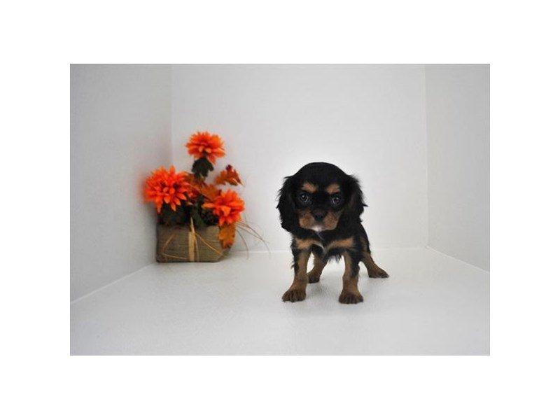 Cavalier King Charles Spaniel-Female-Black / Tan-2219902-Petland Naperville