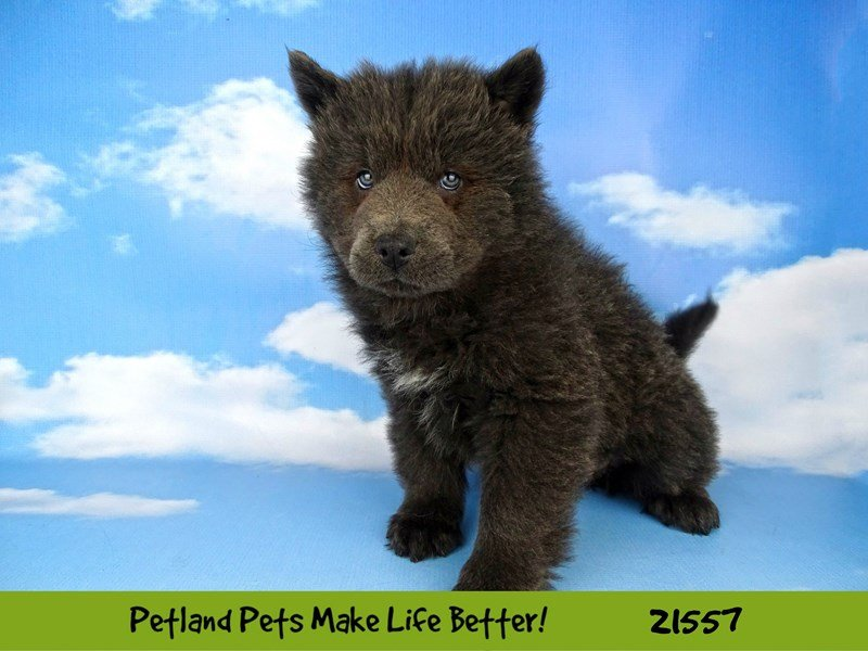 Chow Chow-DOG-Male-Blue-2219782-Petland Naperville
