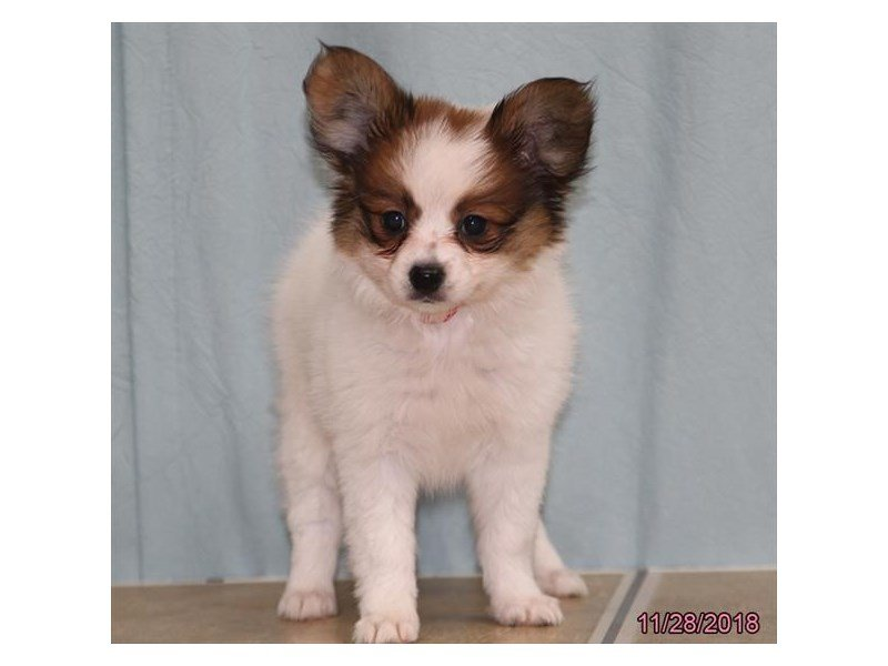 Papillon-Female-White / Brown-2228548-Petland Naperville