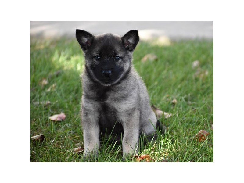 Norwegian Elkhound-Male-Silver Gray / Black-2228550-Petland Naperville