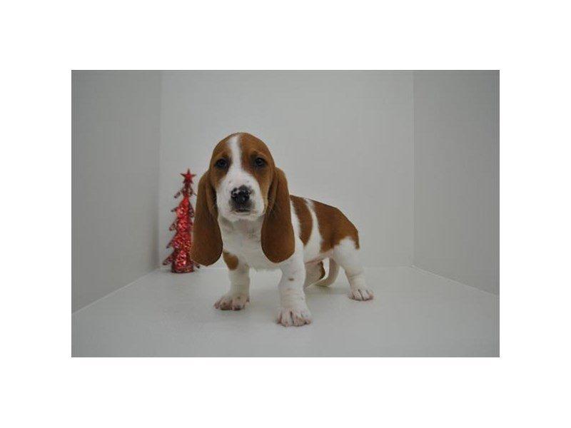 Basset Hound-Female-Red / White-2243652-Petland Naperville