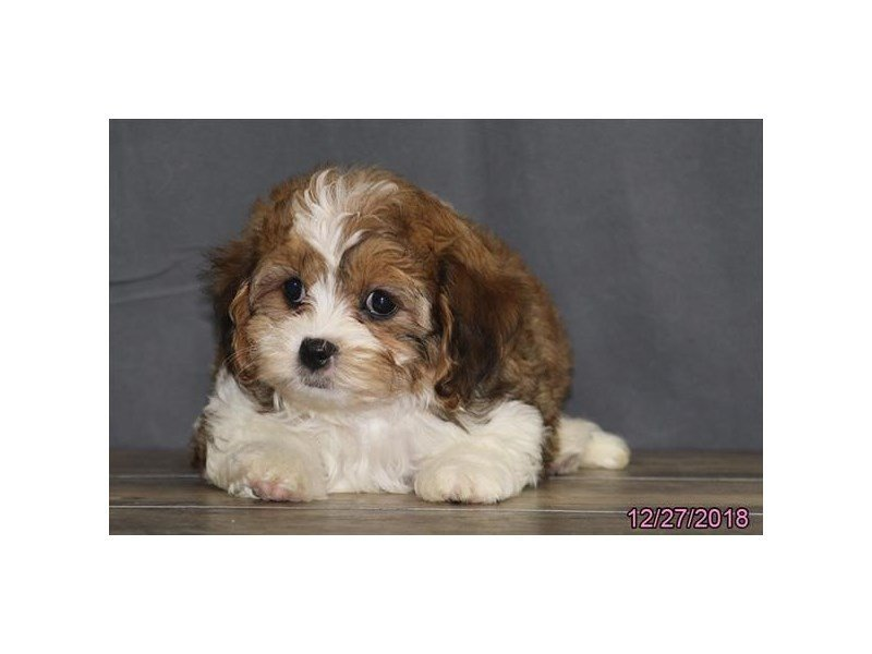 Cavachon-DOG-Female-Brown/White-2249623-Petland Naperville