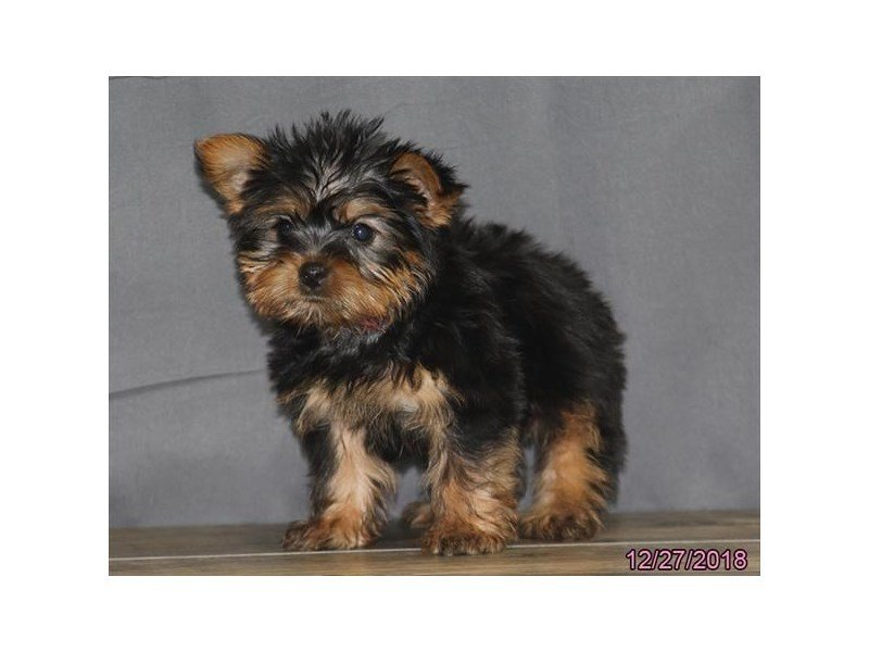 Silky Terrier-Female-Black / Tan-2249625-Petland Naperville