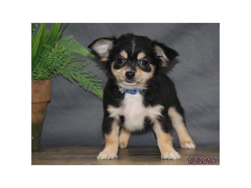 Chihuahua-Male-Black-2255275-Petland Naperville
