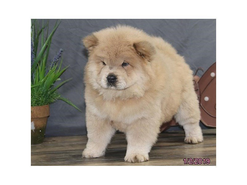Chow Chow-Female-Blue Fawn-2255276-Petland Naperville