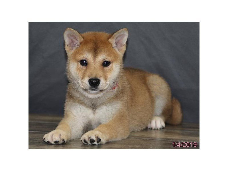 Shiba Inu-DOG-Female-Brown-2255279-Petland Naperville