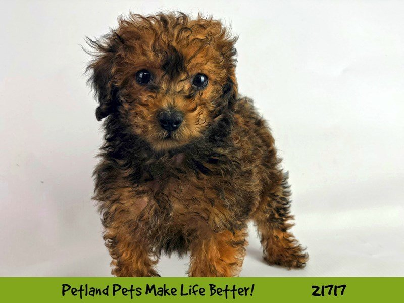 Poodle-Male-Chocolate-2255211-Petland Naperville