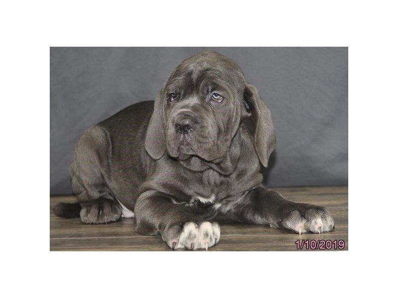 Neapolitan Mastiff-DOG-Male-Blue-2260505-Petland Naperville
